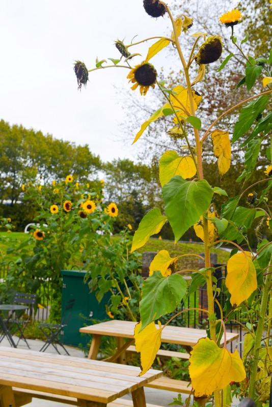 Festa-sunflowers